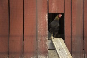 homesteading with chickens